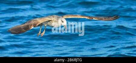Flying  Juvenile Kelp gull (Larus dominicanus), also known as the Dominican gull and Black Backed Kelp Gull. Blue water of the ocean Background. False - Stock Photo