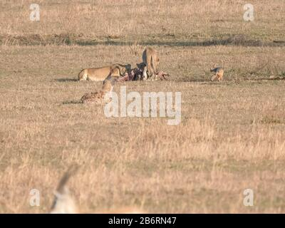 three female lions feeding on a carcass at serengeti np - Stock Photo