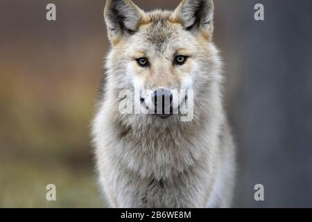 Eurasian wolf, also known as the gray  or grey wolf also known as Timber wolf.  Autumn forest. Scientific name: Canis lupus lupus. Natural habitat. - Stock Photo