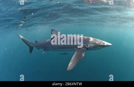Blue shark swimming in the blue. Scientific name: Prionace glauca.  Natural habitat. South Africa.
