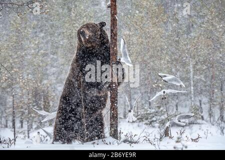 Brown bear standing on his hind legs on the snow in the winter forest. Snowfall. Scientific name:  Ursus arctos. Natural habitat. Winter season. - Stock Photo