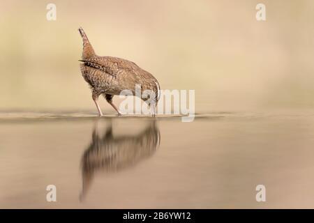 Drinking on the river, portrait of Eurasian wren (Troglodytes troglodytes) - Stock Photo