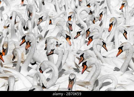 Flock of Mute swans (Cygnus olor), Abbotsbury Swannery, Dorset, England - Stock Photo