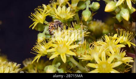 Honey bumblebee collecting pollen on yellow agave flower macro close-up - Stock Photo
