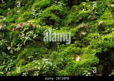Green mossy background. Beautiful bright green moss grown up cover the rough stones and on the floor in the forest. Rocks full of the moss texture in nature for wallpaper. - Stock Photo