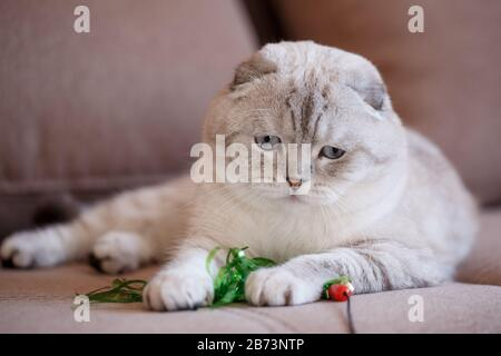 A purebred Scottish folded cat lies on the couch and plays with a toy. - Stock Photo