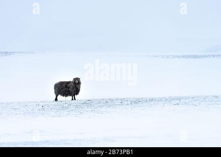 Lone Icelandic black sheep in bleak wild snowscape with gently falling snow. Its long fleece is covered in frozen snow - Stock Photo