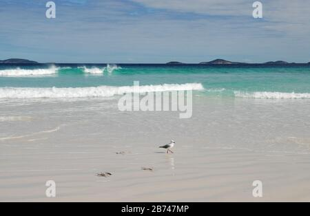 Seagull on Le Grand Beach, Cape Le Grand National Park, near Esperance, WA, Australia - Stock Photo