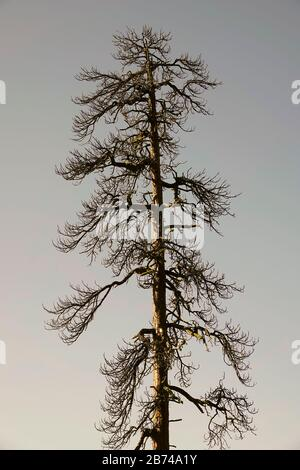 An ancient ponderosa pine tree, killed in a forest fire, in the Deschutes National Forest, in central Oregon near Bend. - Stock Photo
