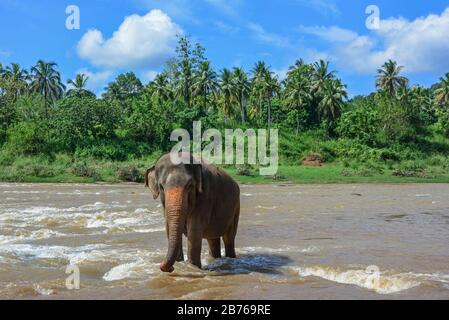 Elephants On The River Near Pinnawala Elephant Orphanage In Sri Lanka - Stock Photo