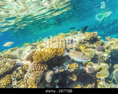Underwater shot in the Red Sea, Egypt. In the foreground, Rinchant Picasso (Rhinecanthus assasi) is one of the most recognizable coral fish, its origi