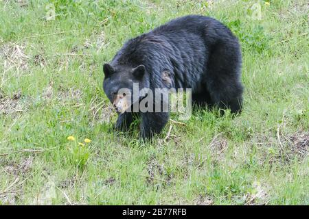 An injured black bear in the grass, part of the nose is gone, trees in the background, Manning Park, Canada. Stock Photo