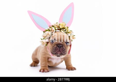 Choko fawn colored French Bulldog puppy dressed up as easter bunny with pink paper rabbit ears headband with flowers on white background - Stock Photo