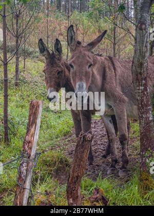 two curious donkeys standing side by side and watching behind a fence - Stock Photo