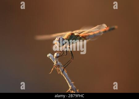 Portrait of a dragonfly (Sympetrum commun) at rest on a dry stem, in the light of the end of the day in August - Stock Photo