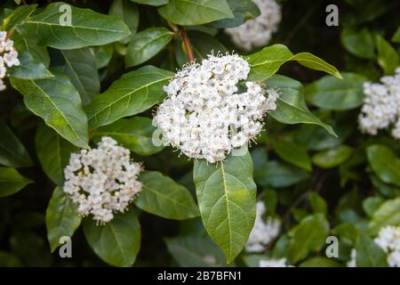Pretty, delicate white flowers (corymbs, inflorescences) of fragrant evergreen shrub viburnum tinus in flower in spring, often used for garden hedging - Stock Photo