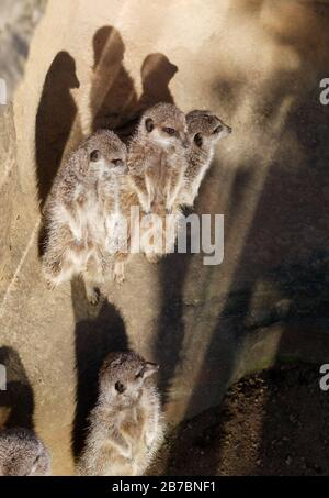 A mob of meerkats watching out for predators. - Stock Photo