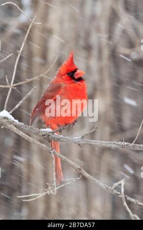 Northern cardinal (cardinalis cardinalis) male under blizzard, Iowa, USA. - Stock Photo