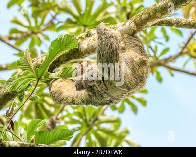 A brown throated 3 toed sloth hanging i a tree with a Baby in Costa Rice Rainforest national park.