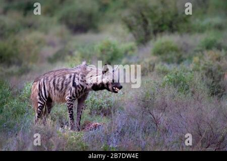 Striped Hyena in Samburu, Kenya - Stock Photo