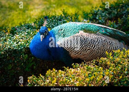 Male Indian Peacock or Peafowl with his majestic feathers