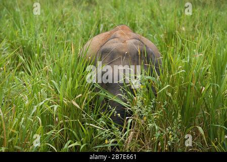 Little Asian baby elephant in green grass. Sri Lanka - Stock Photo