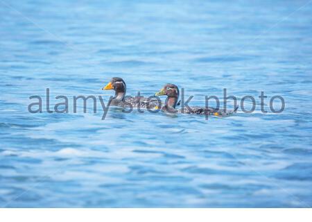 Steamer ducks swimming (Tachyeres brachypterus), Falkland Islands, South America - Stock Photo