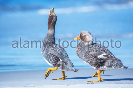 Steamer ducks (Tachyeres brachypterus), walking, Falkland Islands, South America - Stock Photo