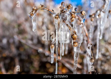 Closeup macro of frozen plants with icicle frost rime in Colorado garden showing texture in morning sunlight - Stock Photo