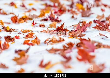 Red dry maple leaves on snow in Colorado, USA autumn vibrant colorful foliage after snowfall on ground closeup - Stock Photo