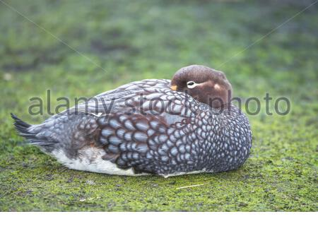Steamer duck (Tachyeres brachypterus), Falkland Islands, South America - Stock Photo