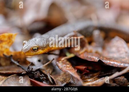 California Newt (Taricha torosa) camouflaged on leaves