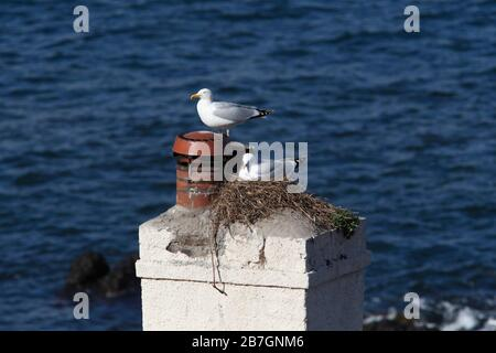HERRING GULL (Larus argentatus) seagull pair at a chimney top nest, Berwickshire, Scotland, UK. - Stock Photo