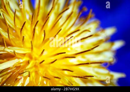 Yellow dandelion close up on the blue background. Spring 2020. Close up handheld macro-photography. - Stock Photo