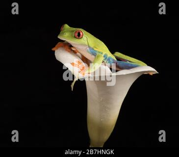 Red Eyed Tree Frog In Lily