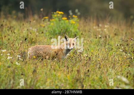 Focused red fox hunting on a meadow with yellow flowers in summer - Stock Photo