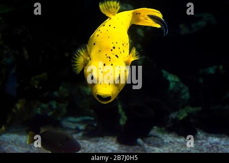 The blackspotted puffer (Arothron nigropunctatus). The dog-faced puffer fish, is a tropical marine fish belonging to the family Tetraodontidae. - Stock Photo