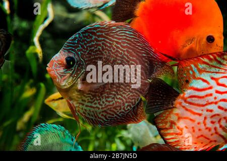 discus fish in aquarium, tropical fish. Symphysodon discus from Amazon river. Blue diamond, snakeskin, red turquoise and more