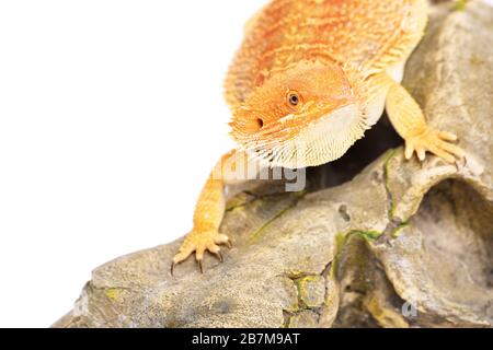Young bearded dragon standing on a rocky surface looking for pray, isolated on a white background. - Stock Photo