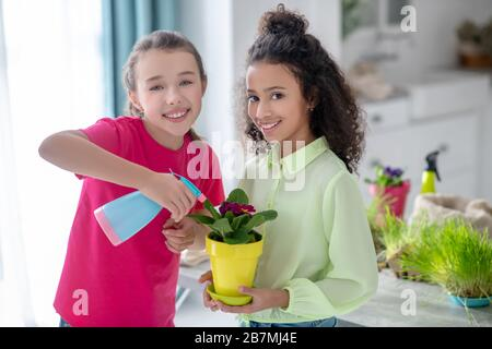 Two girlfriends irrigating a dark pink violet in a yellow pot. - Stock Photo