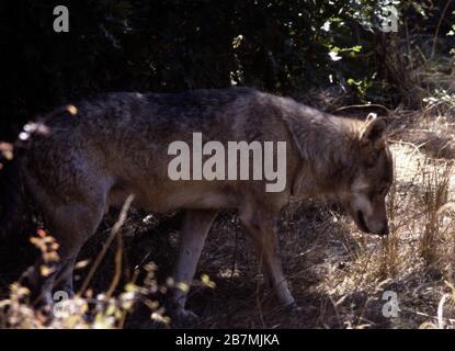 Italian or Apennine wolf, Canis lupus italicus - Stock Photo