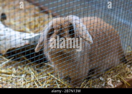 White and brown rabbit in an animal shelter is inside the hutch and looking outside. The background is a brown blurred straw - Stock Photo