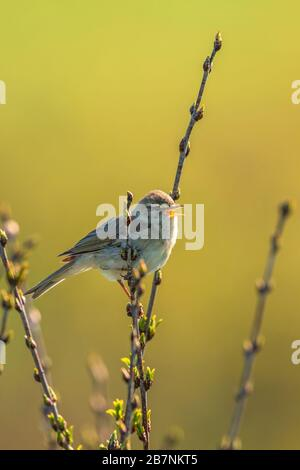 Willow warbler singing in the spring - Stock Photo