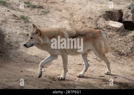Beautiful male of northwestern wolf walking under daylight in America - Stock Photo