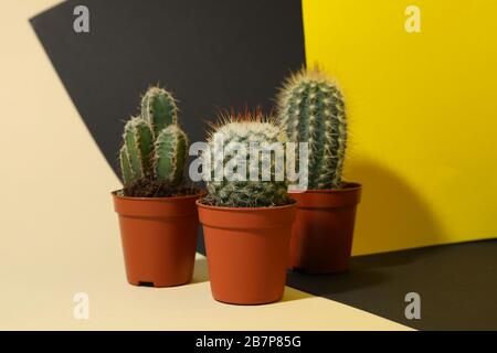 Cacti in pots on three tone background. House plants - Stock Photo