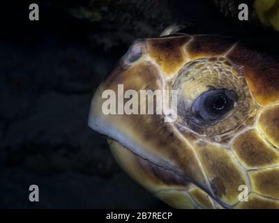 Closeup of the side of a Loggerhead sea turtle (Caretta caretta) head, Jupiter, Florida, United States, Atlantic Ocean, color - Stock Photo