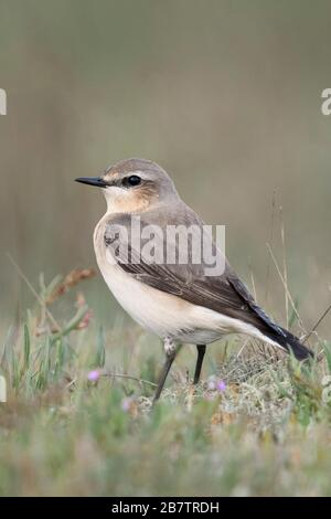 Northern Wheatear ( Oenanthe oenanthe ), male adult, sitting on the ground, in typical surrounding, watching, wildlife, Europe. - Stock Photo