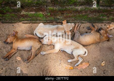 Sri Lankan Street Dog pups sleeping in the shade at the Polonnaruwa Temple in Sri Lanka. - Stock Photo