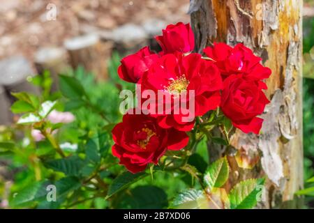 Grassy peony, red color. Background tinting Gorgeous red flowers in the garden. Herbaceous peony with copy space