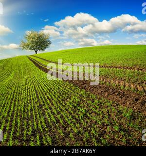 Trails on a field with young plants leading to a lone tree on the horizon. Landscape in square format with a green hill and blue sky - Stock Photo